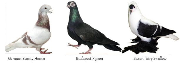 fancypigeons #imaginED